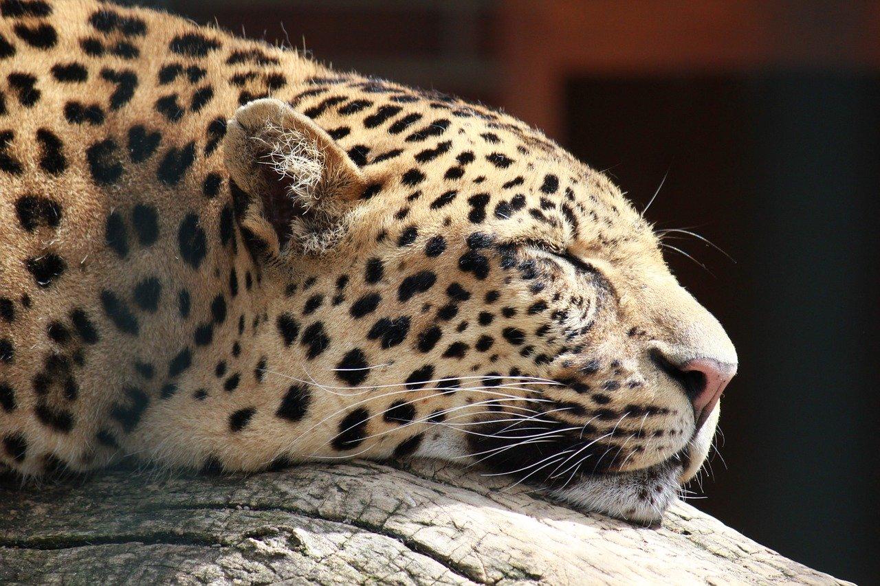 cheetah-190202_1280