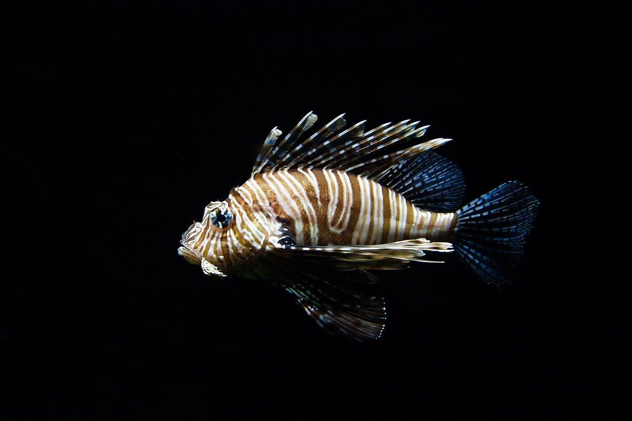 lion-fish-768605_1280