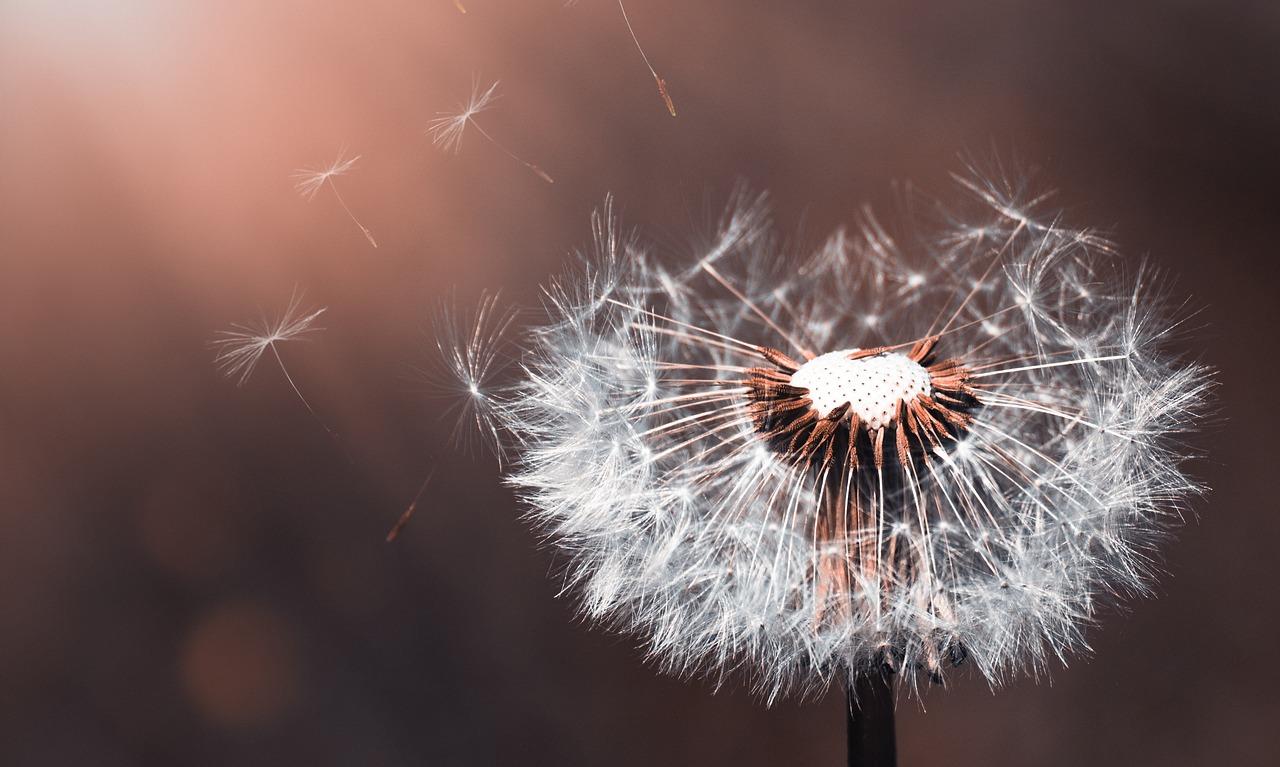 dandelion hope wishes