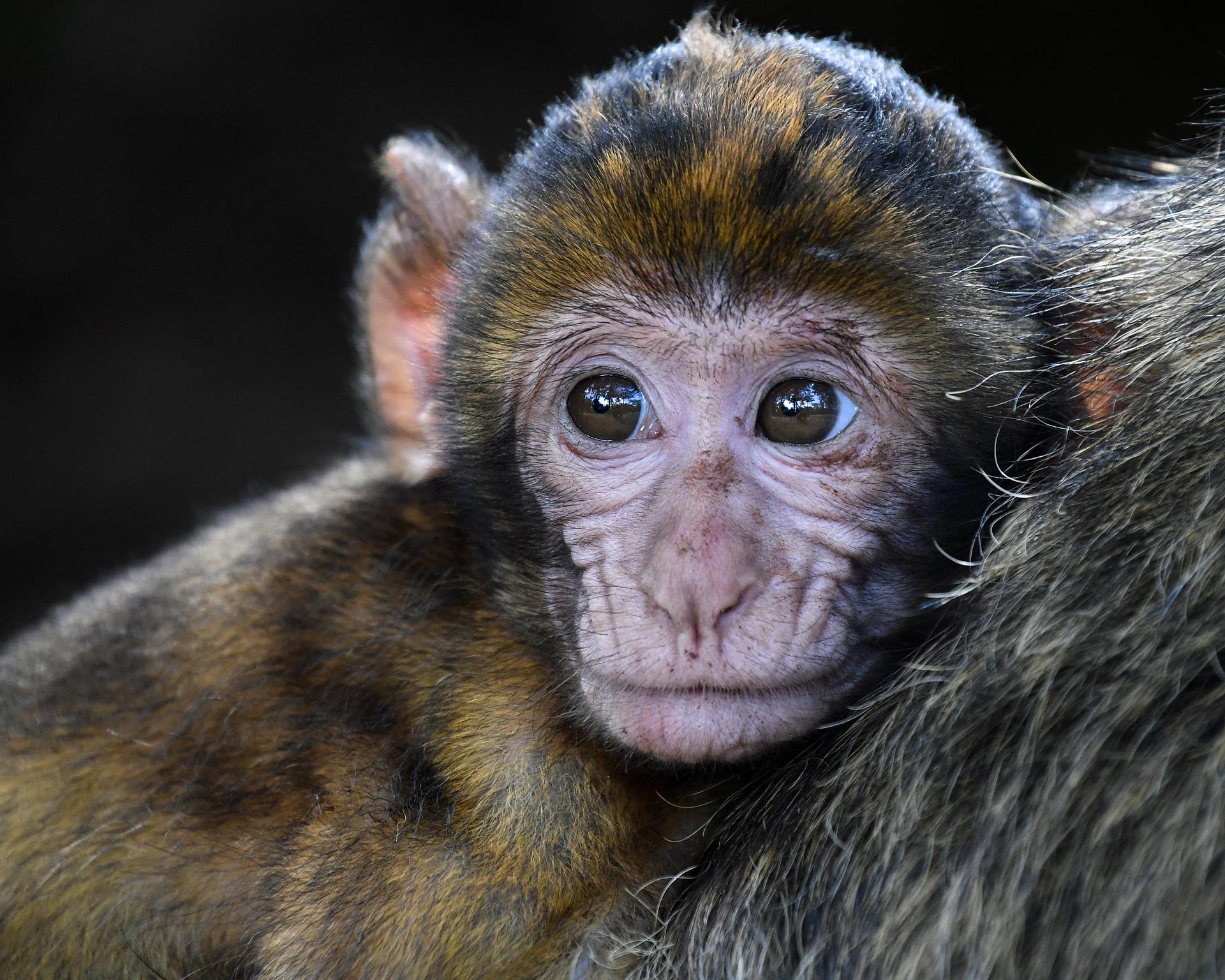 monkey-2790452_1920