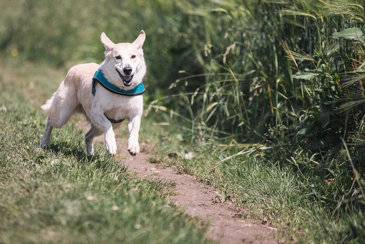 dog running smiling playing
