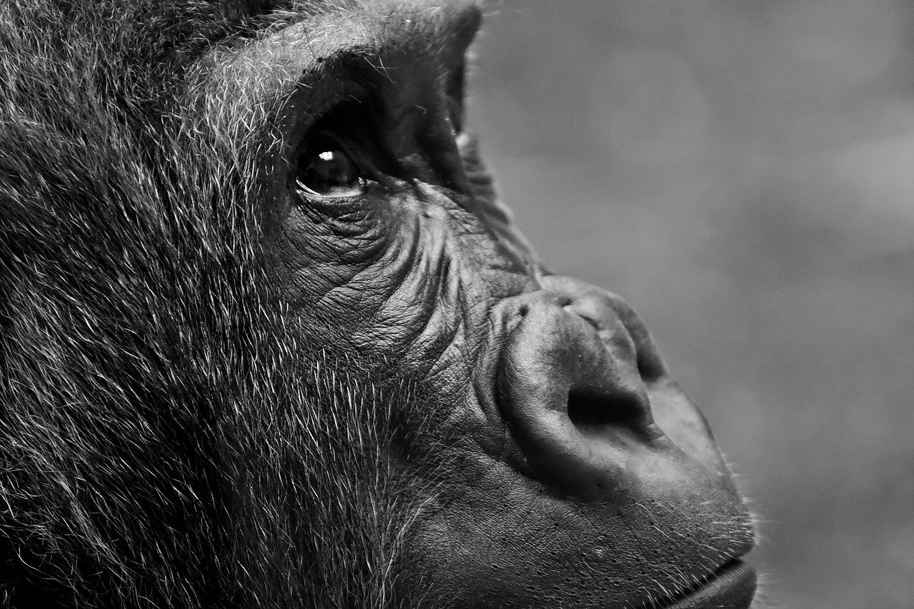 gorilla-2876068_1280