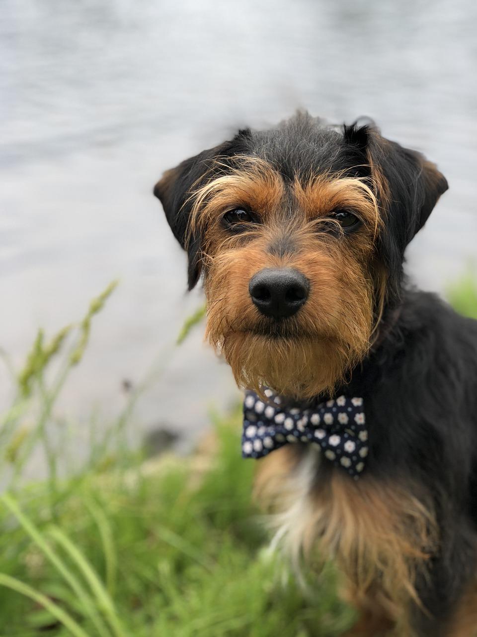 terrier dog bowtie