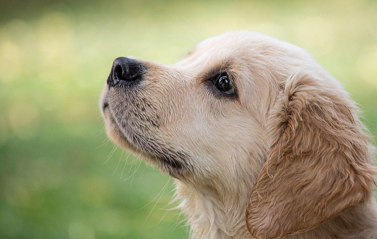 dog puppy golden retriver
